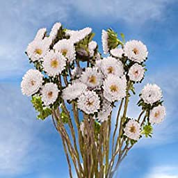 18 Bunches of Fresh Cut White Aster Matsumoto Flowers | Fresh Flowers Express Delivery | Perfect for Birthdays, Anniversary or any occasion.