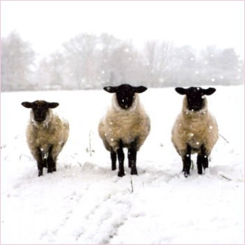 Pack of 10 Shelter & St Mungo's Charity Christmas Cards - Winter Woolly Sheep