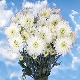 36 Fresh Cut White Chrysanthemum Cushion Flowers | Fresh Flowers Express Delivery | Perfect for Birthdays, Anniversary or any occasion.