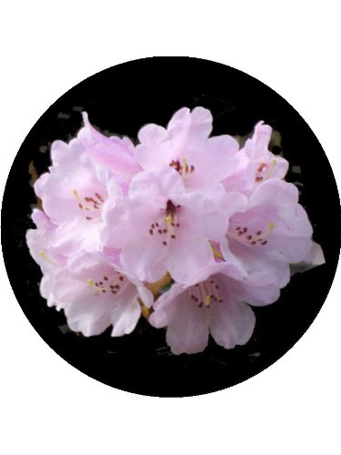 75-rhododendron-flower-cake-toppers-decorations-on-edible-wafer-rice-paper