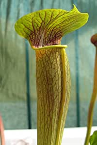 10 CARNIVOROUS PALE PITCHER PLANT (Pale Trumpet) Sarracenia Alata Flower Seeds
