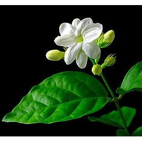Jasmine Maid of Orleans Plant
