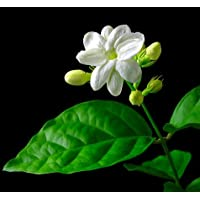 Hirt's Arabian Jasmine Plant - Maid of Orleans - Fragrant