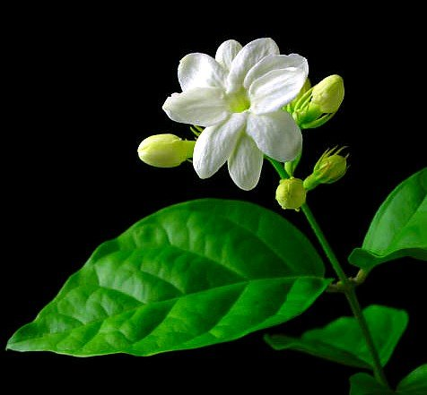 Jasmine Flower Picture on Flowering Plants For Your Home