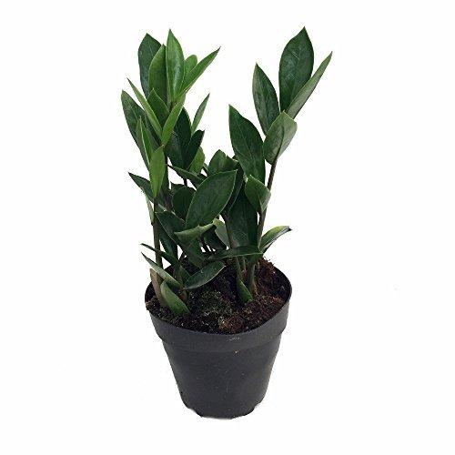 rare-zz-plant-zamioculcas-zamiifolia-easy-to-grow-house-plant-4-pot-by-hirts-gardens