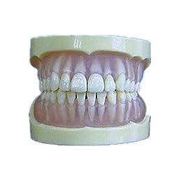YR Transparent Soft Full Mouth Dental Model Standard for Teaching