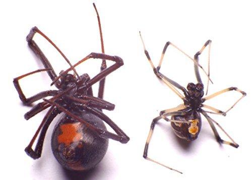 black-widow-spider-latrodectus-mactans-theridiidae-adult-pair-in-a-non-hazardous-aqueous-preservativ