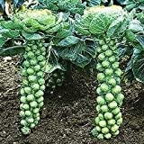 Hinterland Trading Brussels Sprouts Little Baby Cabbages ! Vegetable Garden Seeds 100+ Includes bonus pack of Organic Mammoth Russian Sunflower Seeds