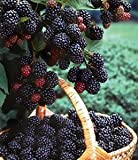 1 Black Hawk - Black Raspberry Plant - All Natural Grown - Ready for Fall Planting