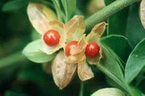 Индийский женьшень выращивание 9