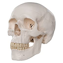 3B Scientific Plastic Human Skull Model, 3 Parts, 7.9\