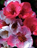 Toyo-Nishiki Flowering Quince Plant - Outdoor or Bonsai - 4