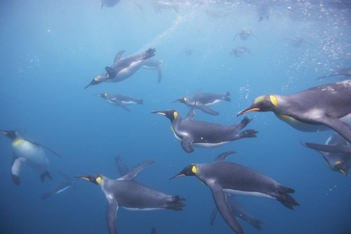 King Penguins Underwater At South Georgia Island Wall Decal - 52 Inches W X 35 Inches H - Peel And Stick Removable Graphic front-662351