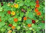 70 Seeds, Nasturtium
