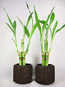 9GreenBox - Live 3 Style Party Set of 2 Bamboo Plant Arrangement w/ Ceramic Vase