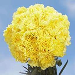 100 Fresh Cut Yellow Carnations | Fresh Flowers Express Delivery | Perfect for Birthdays, Anniversary or any occasion.