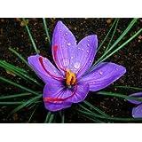 Saffron Crocus 20 Bulbs