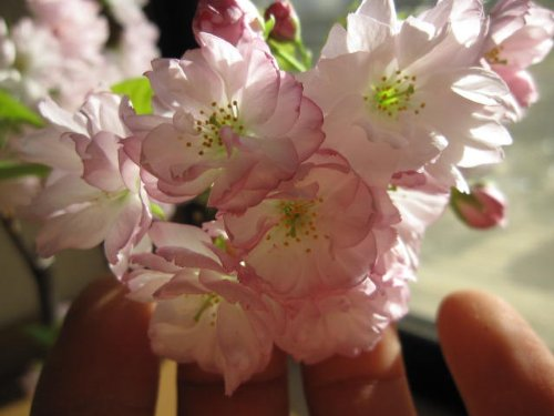 2013年に咲く桜  とても 綺麗な 八重桜  楊貴妃桜といいます。  桜のお花は人を 笑顔にする力があります。