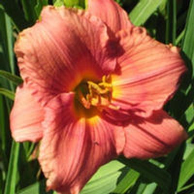 25 fans of Siloam Flower Girl Daylilies