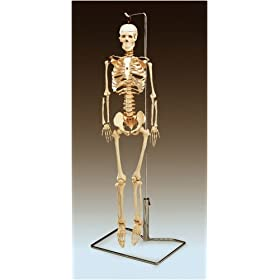 Flexible Mr. Thrifty Skeleton W/ Nerves