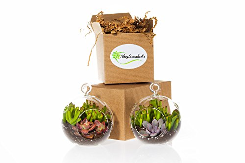 Shop Succulents His & Hers Succulent Mini Globe Pair