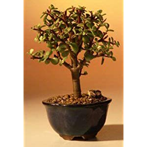 Brussels Jade Bonsai