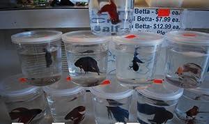 Male Veiltail Betta - Siamese Fighting Fish