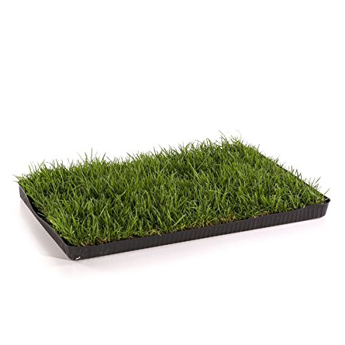 miau katzengras echtes saftiges gras auf 60x40cm sofort nutzbar kein auss en mehr. Black Bedroom Furniture Sets. Home Design Ideas