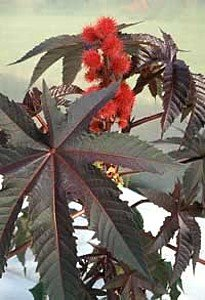 Red Leaf Castor Bean 10 Seeds - Ricinus carmencita Red