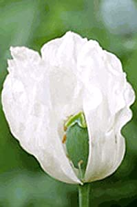 100 Organic White Afghan Poppy Seeds Papaver Somniferum
