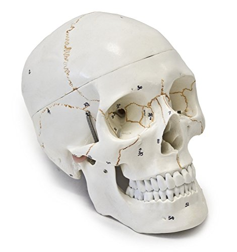 Anatomical Human Skull Model, 3-part, Numbered, Life Size