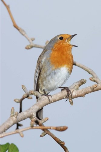 robin-erithacus-rubecula-singing-in-the-spring-journal-150-page-lined-notebook-diary