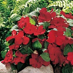 Buy Impatiens Sunny Lady Red Hybrid – Park Seed Impatiens Seeds