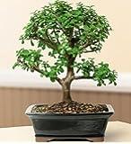 Bonsai Boy's FREE SHIPPING ON THIS TREE Baby Jade Bonsai Tree - Large Portulacaria Afra