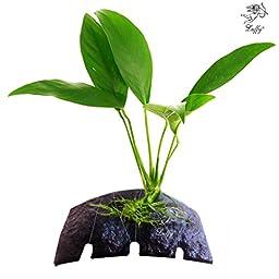 LUFFY Coco Anubias Lanceolata- plant on Coconut Shell Beautiful Live aquarium moss plant for java fish exo shrimp moss fern terra tank diffuser co2 java frog stone/rock/wood/driftwood terrarium