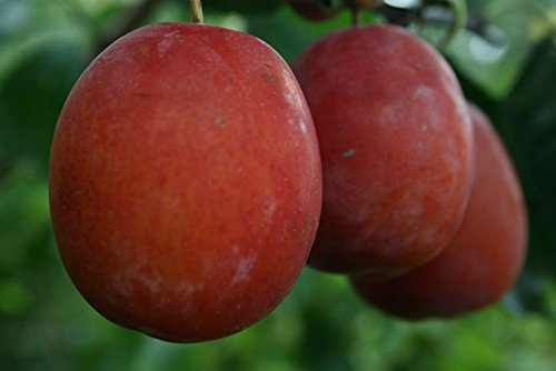 dwarf-patio-plum-victoria-fruit-tree-for-pots-or-small-gardens
