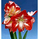 Christmas Blooming Amaryllis - Candy Cane - Red & White Flowers - Set of 2 Bulbs ~ It's An Amaryllis!
