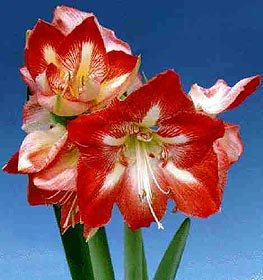 Christmas Blooming Amaryllis - Candy Cane - Red & White Flowers - Set of 2 Bulbs