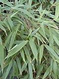 Fargesia 'Rufa' - Hardy Clump forming Bamboo