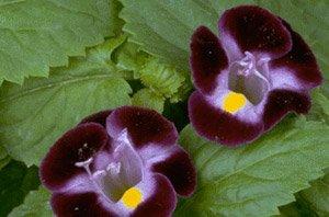 Hazzard's Seeds Torenia Clown Violet 250 seeds (Violet The Clown)