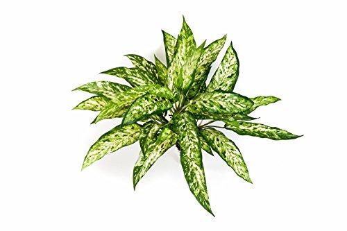 kunstliche-aglaonema-mit-36-blattern-grun-weiss-50-cm-kunstliche-pflanze-artplants
