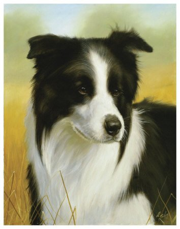 Border Collie Art Poster Print by John Silver