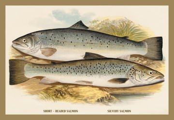 Short-Headed Salmon and Silvery Salmon