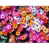*Seeds and Things 500+ Mixed Colors ICE Plant Flower Seeds (Mesembryanthemum Daisy / Livingstone Daisy) Dorotheanthus Bellidiformis