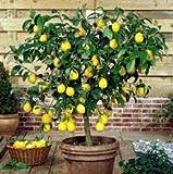 Lemon Tree citrus lemon 10 seeds