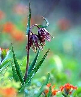 Chocolate Checkered Lily 10 Seed -Fritillaria-Perennial