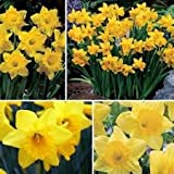 Olive Grove 25kg Bulk Bag Mixed Yellow Daffodil Narcissus Spring Flowering Garden Bulbs (Approx 300)