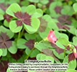Oxalis Iron Cross (Good Luck Plant) - 15 robust bulbs - 4/5 cm