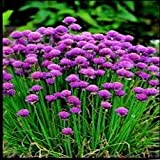 Herb Seeds - Chives Extra Fine - 200 Seeds