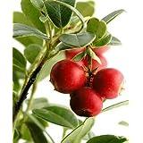 100 Perennial CRANBERRY Viburnum Fruit Bush Seeds *Comb S/H